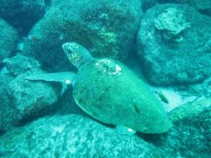 調査GPS付きのアカウミガメ