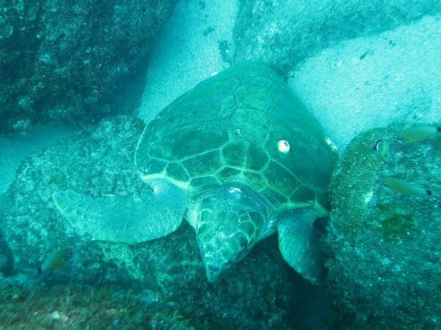 産卵に永田を訪れたアカウミガメのメス