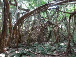 猿川ガジュマル-島内観光