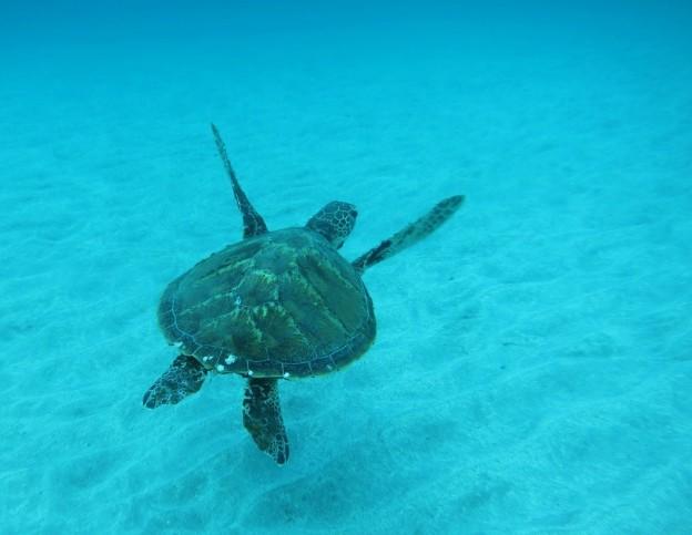ウミガメ at 体験ダイビング
