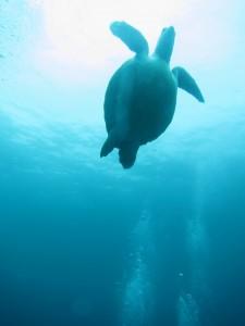 体験ダイビングにウミガメ登場-☆ 6/19 in 屋久島