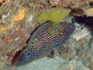 シモフリタナバタウオの卵 2008.6月