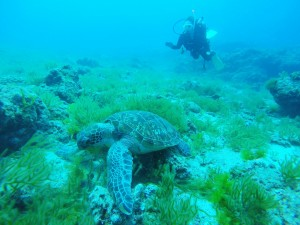 噴火した日の海の中 穏やかで透明度も好調☆ウミガメもいつも通りでした。
