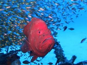 ゼロ戦の主 アザハタ ゆったり泳ぐ姿は被写体に最適です♪