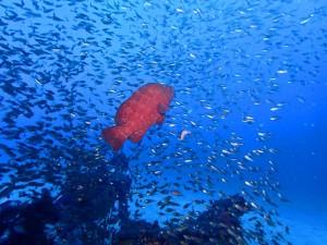 今日のゼロ戦☆ 青い海に、アザハタの赤が映えます♪Photo by Bさん