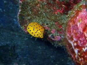 ダイバーになって最初にキュンときたお魚、ミナミハコフグの幼魚です♡何度見てもかわいい♪ Photo by Kさん