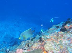 超幼魚から、子供、成魚まで見られるサザナミヤッコ Photo by Tさん