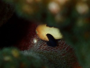 サンゴの合間にパンダダルマハゼ Photo By Kさん