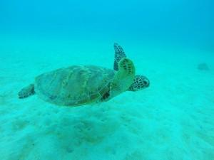 砂地をすいーっと泳ぐウミガメ。透明度悪い中、癒しの存在でした♪