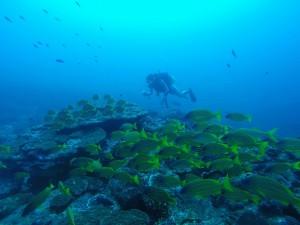 カゴカキダイとロクセンフエダイのコラボ☆屋久島ならではの風景です。