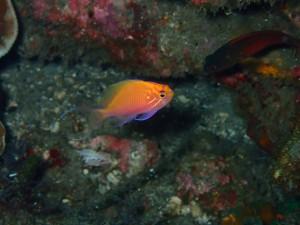 深場でみられるハナゴンベですが、この子はなんと13mに居ます!フォト派にはオススメです。