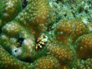 サンゴの隙間が大きくて、良く見えるキモガニ。撮りやすい浅瀬見つけました-!