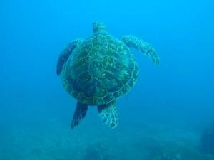 水面へ息継ぎにいくアオウミガメ Photo By Pさん