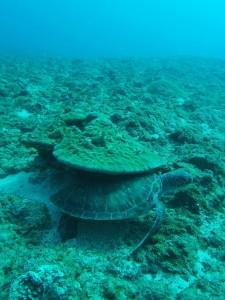 イバラカンザシがたくさん付いてるサンゴの下に隠れるアオウミガメのこども♡