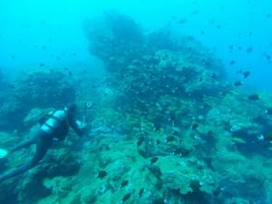 温泉がたくさん出ているところに集まる魚たち。ヨスジフエダイとアマミスズメダイ、アジアコショウダイがぐっちゃり!
