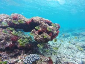 種子島サンゴ調査 浅瀬に群れるカゴカキダイの幼魚 2015.12.9