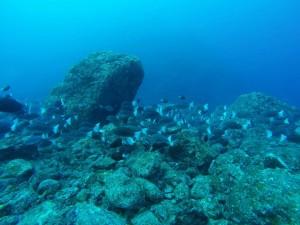 中層をみるとギンガメアジの大群、そして水底にはメジナの大群!!