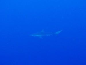 カマストガリザメ 全部で2、30匹はいたサメパラダイスでもありました☆