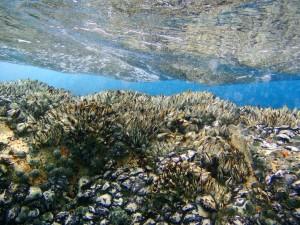 浅瀬にびっしり カメノテ