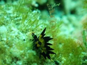 同じく顕微鏡モードで撮影した5mmほどのツマグロモウミウシ 海藻のUPが可愛い♡