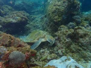 岩の間でゆらゆらしてたアオウミガメ