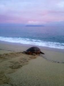 早起きは三文の得☆永田のお宿に泊まると希望者はウミガメの卵の移植に参加できます。運良く明け方海へ帰るウミガメにも出会えたそう♪