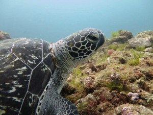 ベテランさんが多かったのですが、あまりにじーっと逃げない屋久島のウミガメに驚かれてました。