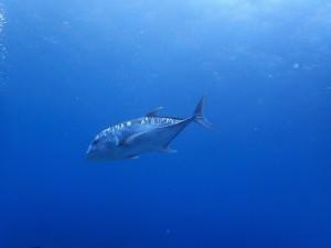 浅瀬でGT(ロウニンアジ)に遭遇-☆ダイバーの周りをぐるぐる3周してくれました!
