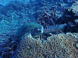 ウミガメは通年変わらずたっくさん♪ 屋久島2月