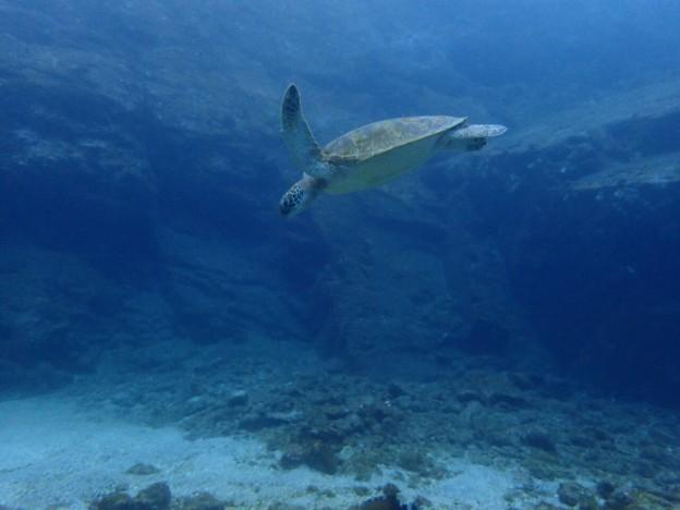 屋久島の海でウミガメと泳ぐ