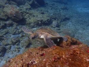気持ち良く自由に泳ぐアオウミガメ