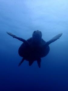 繁殖シーズン真っ盛りのアカウミガメのオス。