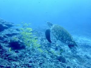 ウミガメとヨスジフエダイ幼魚
