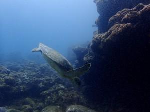 岩陰に休みにやってきたアオウミガメ