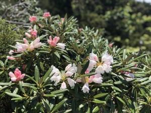 ヤクシマシャクナゲ(稜線) 咲きかけ。