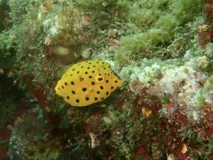 安全停止中はこの可愛いミナミハコフグ幼魚を見てるとあっという間の3分間♪