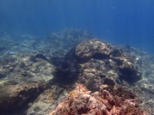 水深3mで大きなマダラトビエイがグルグル旋回ー!カッコいい✨