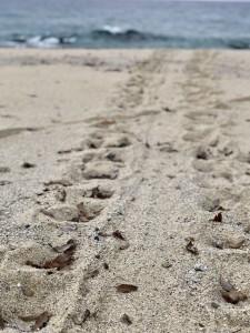 アカウミガメ 産卵上陸の足跡