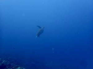 泳ぐアオウミガメ。