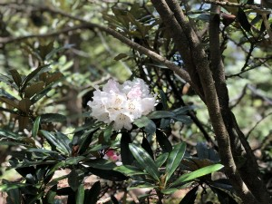 ヤクシマシャクナゲの花。