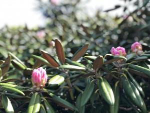 ヤクシマシャクナゲ 蕾から咲き始め。
