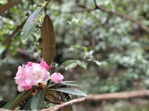 ヤクシマシャクナゲ 咲きかけ。