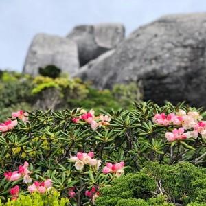 黒味岳登頂ー!山頂付近にもキレイなヤクシマシャクナゲが咲いてました✨