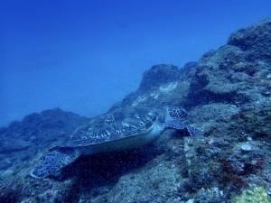 今日のアオウミガメ。いなか浜では今年初のアオウミガメが産卵上陸したようです。