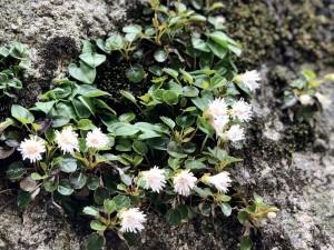 山頂手前に群生してたイワカガミの花たち。すれ違った方に教えてもらって初めて見ました!