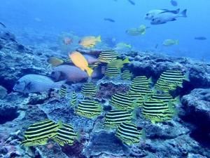 お宮前の魚溜まり。カゴカキダイとアジアコショウダイの屋久島ならではのコラボです。