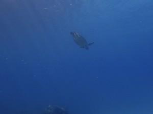 息継ぎのあと、再び潜るアオウミガメの子ども。