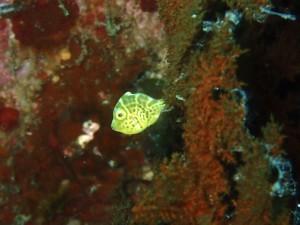 台風のお土産ーその2。可愛いサイズのノコギリハギ幼魚♥