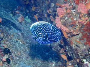 タテジマキンチャクダイ幼魚。