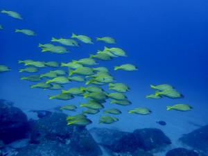 台風後もヨスジ魚礁のヨスジフエダイも健在でした♪
